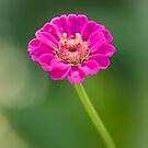 Zinnia 1-2015 by Thomas Young