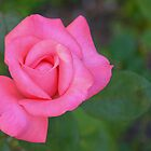 Pink rosebud waking and stretching by Ben Waggoner
