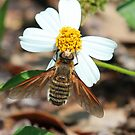 Florida bee fly by jozi1