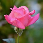 Portrait of a pink rosebud by Ben Waggoner