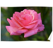Sun-kissed pink rose Poster