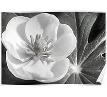 May Apple Flower Poster