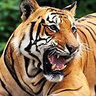 Roaring tiger portrait by Om Yadav