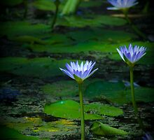 Water Lily by emiphotography