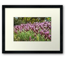 Lavender in Light Framed Print
