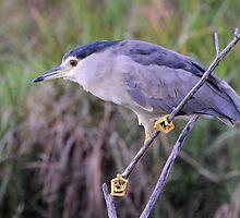 Black Crowned Night Heron by DeoVolente (Dewahl Visser)