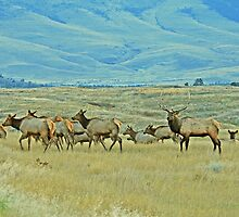 Evening Elk Move by Rodney55