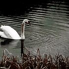Swan at Curraghchase by Alfredo Encallado
