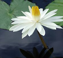 Water Lily by Daniel B McNeill