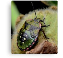 Shield bug-Do I look like a tortoise? -Melbourne Canvas Print