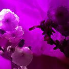 Soft Blossom by John Hare