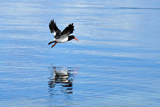 Pied Oystercatcher by Ian Berry
