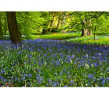 A Carpet of Bluebells Photographic Print