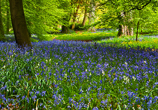 A Carpet of Bluebells by Trevor Kersley