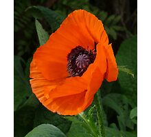 A Little Poppy While waiting for Afternoon Tea Photographic Print
