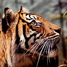 Tiger Focus by Josie Eldred
