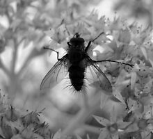 The Fly that Caught Ansel's Eye by BLemley