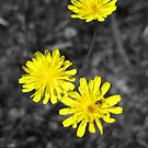 Yellow on Black - Wildflower in Mars Hill, N.C. by glennc70000