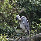 heron by Alan McNeice