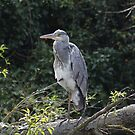 heron 2 by Alan McNeice