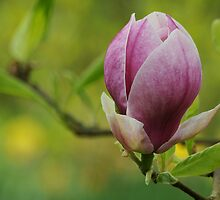 Pink Magnolia at Nymans by cherryannette
