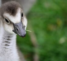The Inquisitive Gosling by fish68