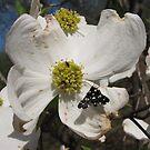 Dogwood Flowers by Misty Lackey