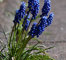 Grape hyacinths on the sidewalk (crop) by RonnySoak