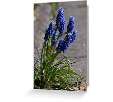 Grape hyacinths on the sidewalk (crop) Greeting Card