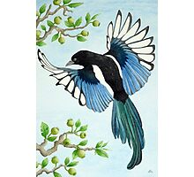 A Magpie in flight Photographic Print