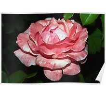 Rouged rose Poster