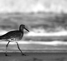 Willet by J. L. Gould