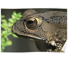 Common Asiatic Toad or Black-spined Toad, Duttaphrynus melanostictus, Thailand Poster