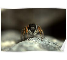 Jumping spider, Philaeus chrysops, Tajikistan Poster