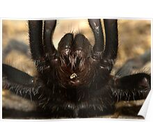 Tarantula in defensive position Nepal Poster