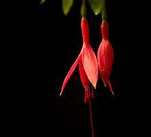 Fuchsia on Black by BoB Davis