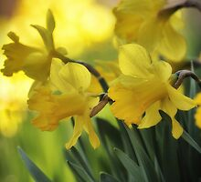 The Spring Daffodils by Aaron Campbell