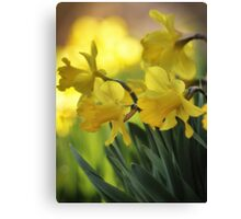 The Spring Daffodils Canvas Print