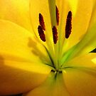 Beautiful Golden Asiatic Lily in Close-up by EdsMum