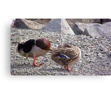 Duck search Canvas Print