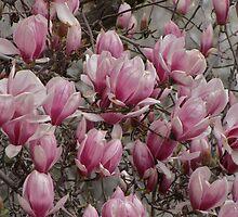 Magnolia's by trueblvr