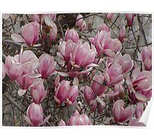 Magnolia's Poster