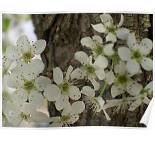 Bradford Pear Close up Poster