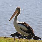 Pelican Profile  by Margaret Stanton