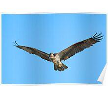 Soaring Osprey Poster