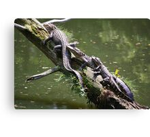 Mama, Daddy and Baby Alligator Canvas Print