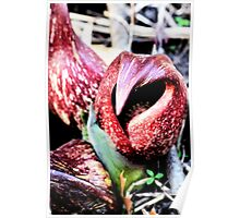 Skunk Cabbage Poster
