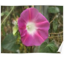 Red Morning Glory Flower Poster