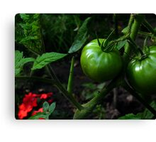 Green Tomato Canvas Print