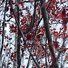 Looking thru the Sand Cherry Tree by Sherry Hallemeier